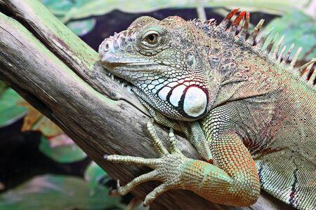 portrait of green iguana closeup. wildlife
