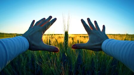 hands with spikelets of wheat against the setting sun. unity with nature