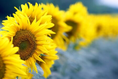 yellow flower of sunflower in a field closeup. botany and vegetation Imagens