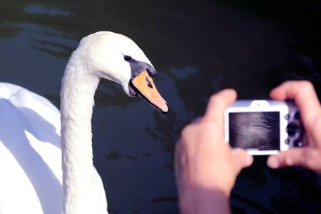 white Swan posing for the photographer shooting. love of nature Stock Photo