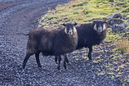 Sheep on the island of Iceland