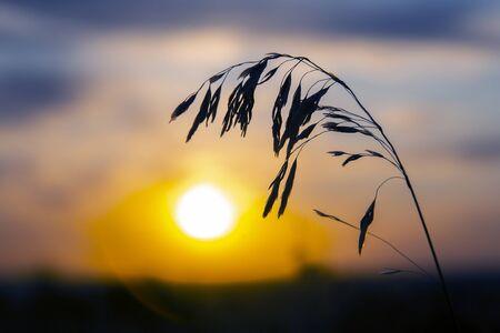 silhouette plants flower against the setting sun 版權商用圖片