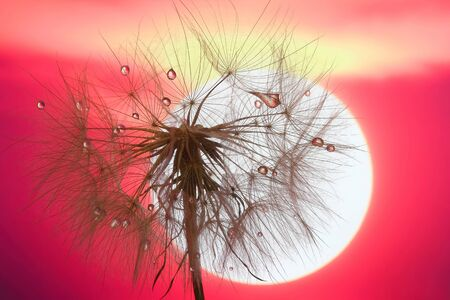 dandelion with drops of water against the sky and the setting sun Stock Photo