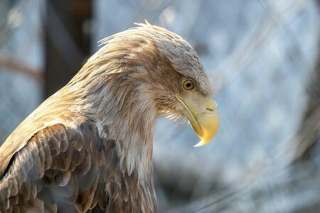 feathered predator. portrait of an eagle closeup