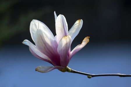 head of blooming magnolia. botany and flowers