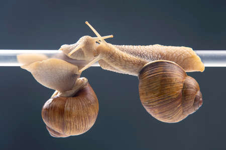 Helix pomatia. snails hang from a plastic tube. romance and relationships in the animal kingdom. mollusc and invertebrate. delicacy meat and gourmet food