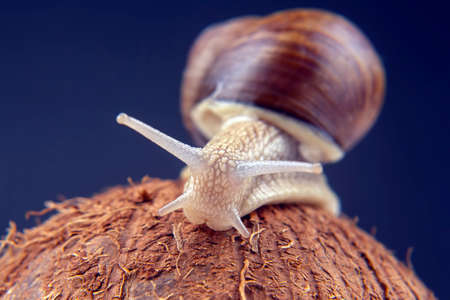 Helix pomatia. grape snail on a coconut on a dark background. mollusc and invertebrate. gourmet protein meat food.