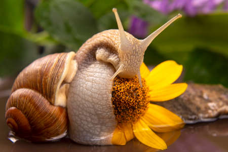 Helix pomatia. snail is actively crawling in nature. mollusc and invertebrate. delicacy meat and gourmet food