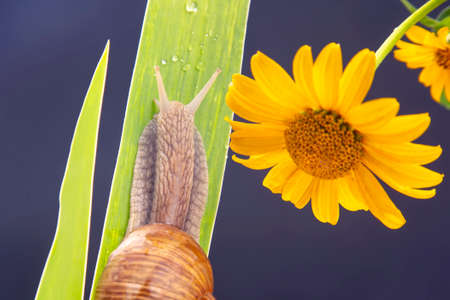 Helix pomatia. snail crawling on a green leaf against the background of a yellow flower. mollusc and invertebrate. delicacy meat and gourmet food.