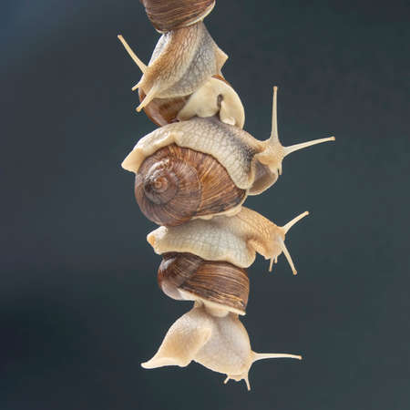 Helix pomatia. snails hold each other with suckers. romance and relationships in the animal kingdom. mollusc and invertebrate. delicacy meat and gourmet food