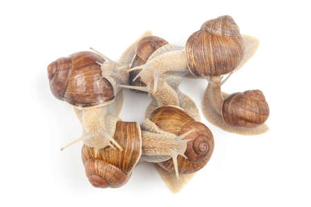 Helix pomatia. grape snail on a white background. mollusc and invertebrate. gourmet protein meat food. communication of the individual in society