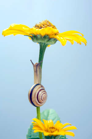 Helix pomatia. little snail crawling on a flower. mollusc and invertebrate. delicacy meat and gourmet food. Imagens