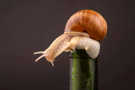 Helix pomatia. grape snail on a bottle on a dark background. mollusc and invertebrate. gourmet protein meat food.