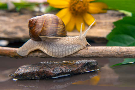 Helix pomatia. snail is actively crawling in nature. mollusc and invertebrate. delicacy meat and gourmet food. Imagens