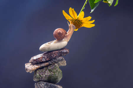 Helix pomatia. snail on a stone pyramid is drawn to the scent of a yellow flower. mollusc and invertebrate. delicacy meat and gourmet food.