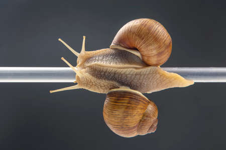 Helix pomatia. snails hang from a plastic tube. romance and relationships in the animal kingdom. mollusc and invertebrate. delicacy meat and gourmet food.