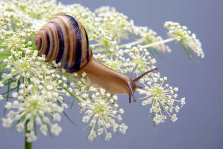 Helix pomatia. little snail crawling on a flower. mollusc and invertebrate. delicacy meat and gourmet food Imagens