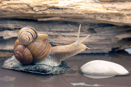 Helix pomatia. snail climbs from stone to stone. mollusc and invertebrate. delicacy meat and gourmet food.