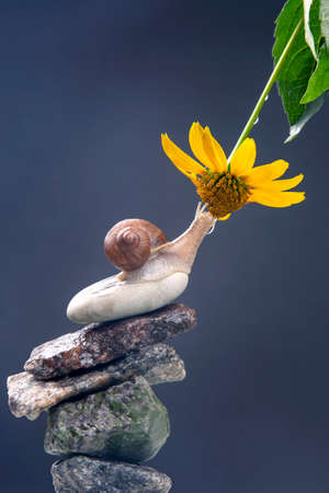 Helix pomatia. snail on a stone pyramid is drawn to the scent of a yellow flower. mollusc and invertebrate. delicacy meat and gourmet food Imagens