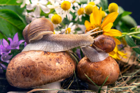 Helix pomatia. grape snails sit on mushrooms in nature. mollusc and invertebrate. delicacy meat and gourmet food.
