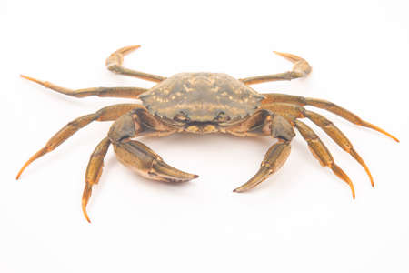 sea crab on a white background.