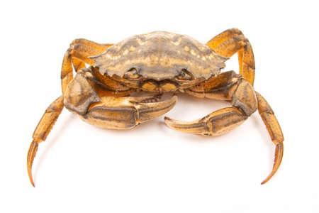 Sea herbal arthropod crab on a white background