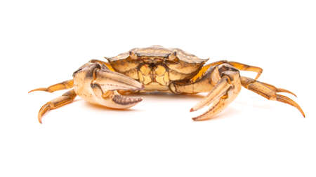 sea ​​crab on a white background