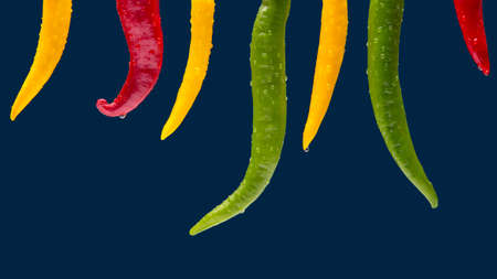 Colored hot chili on a dark blue background. Pepper. Vegetable vitamin food.