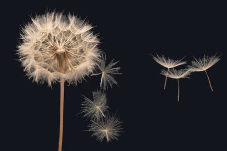 dandelion seeds fly from a flower on a dark blue background. botany and bloom growth propagation Imagens