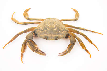 sea crab on a white background