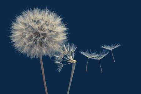 Dandelion seeds flying next to a flower on a blue background Foto de archivo