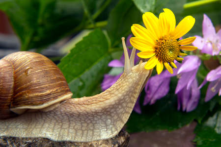 snail is actively crawling in nature. mollusc and invertebrate. delicacy meat and gourmet food
