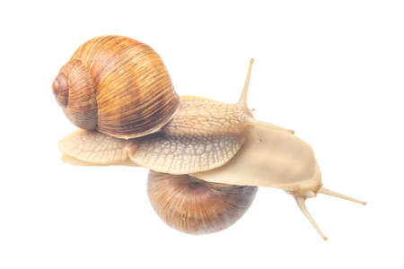 Helix pomatia. snails on transparent glass. mollusc and invertebrate. delicacy meat and gourmet food.