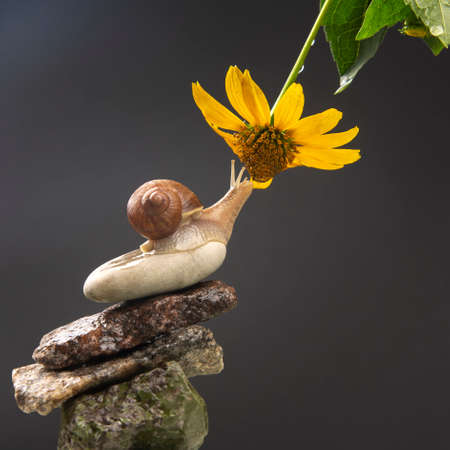 Helix pomatia. snail on a stone pyramid is drawn to the scent of a yellow flower. mollusc and invertebrate. delicacy meat and gourmet food