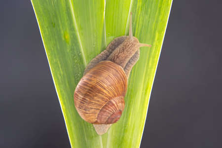 grape snail crawling on green leaves. mollusc and invertebrate. delicacy meat and gourmet food. relaxation