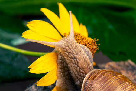 Helix pomatia. The snail hangs on a yellow flower and eats a petal. mollusc and invertebrate. delicacy meat and gourmet food.