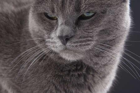 Studio portrait of a beautiful gray cat on dark background. pet mammal animal predator