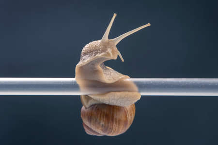 Helix pomatia. snails hang from a plastic tube. mollusc and invertebrate. delicacy meat and gourmet food.