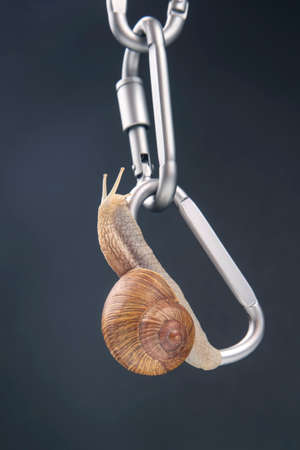 Helix pomatia. snails hold each other on metal carabiners for belay. mollusc and invertebrate. delicacy meat and gourmet food.