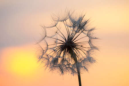 Silhouette of a dandelion flower in the backlight with drops of morning dew. Nature and floral botany