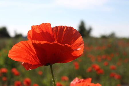 Poppy field with single flower in focus Stock Photo