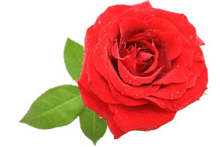 Red rose over white background - top view Stock Photo