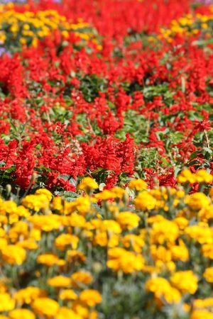 Field of flowers - yellow and red row