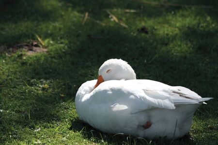 White goose sleeps on green grass by summer