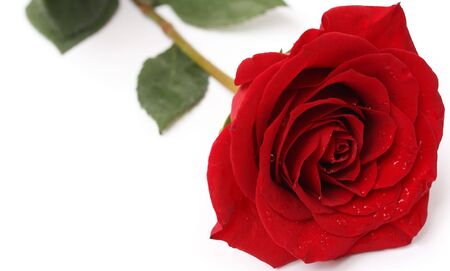 Single rose with water drops on white background