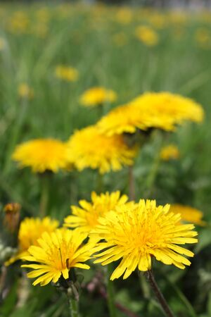Dandelion flowers on nature - close-up view