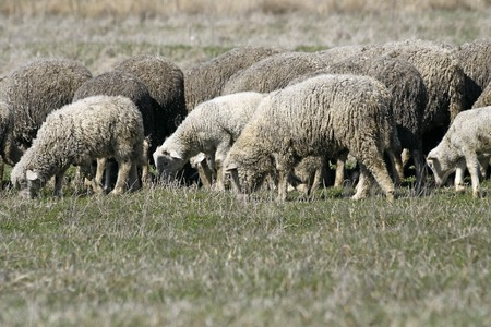 Herd of sheep on pasture by spring