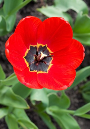 Red tulip - close-up and top view