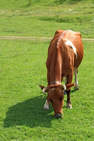 White-brown cow eating grass on meadow