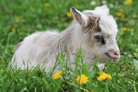 Goatling is resting while lying on grass Stock Photo